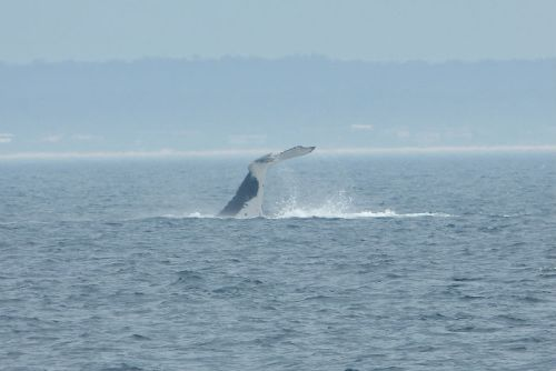 whale_watching_jervis_bay9