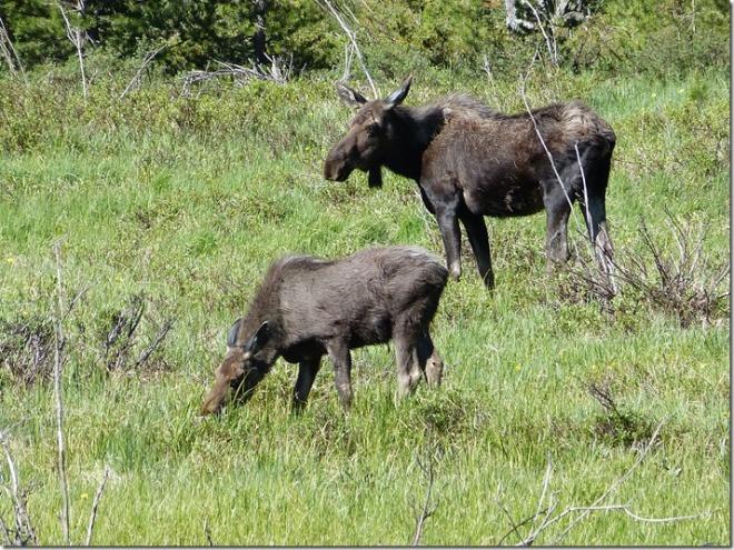 rocky_mountain_moose.jpg