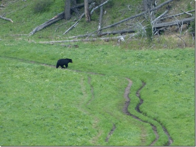 yellowstone_bear.jpg