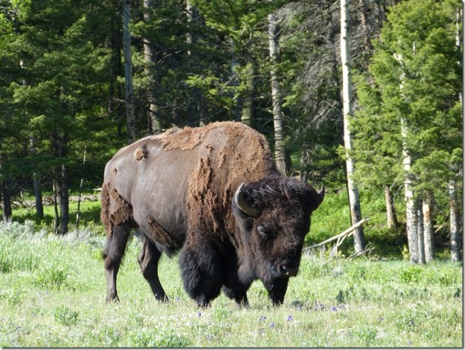 yellowstone_bison1.jpg