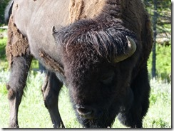 yellowstone_bison2.jpg