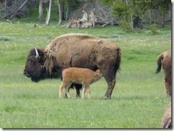 yellowstone_bison3.jpg