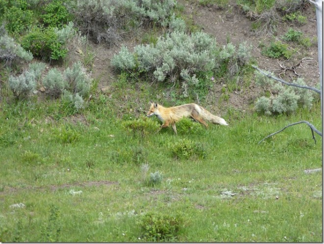 yellowstone_fox.jpg