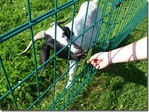killesberg_goat2.jpg