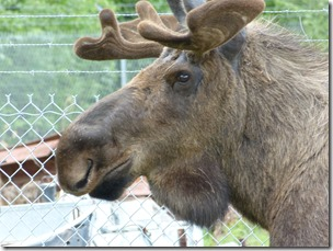 northpole moose (2)