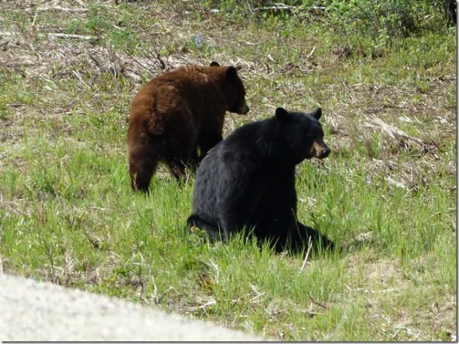 yukon bears