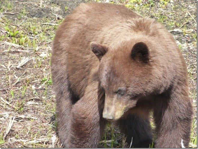 yukon territory bear